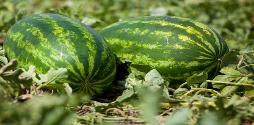 كيفية اختيار البطيخ