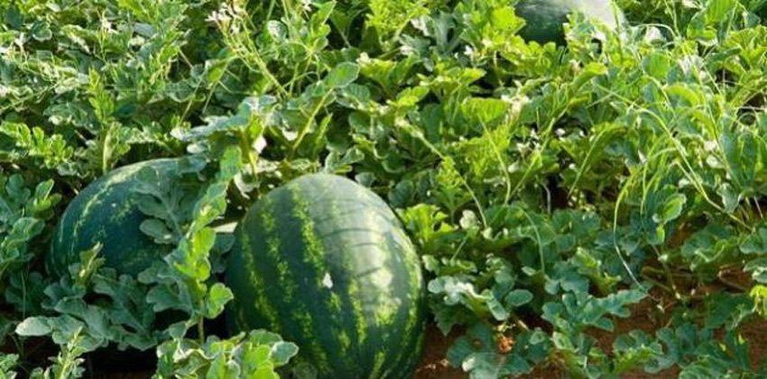 كيف يزرع البطيخ