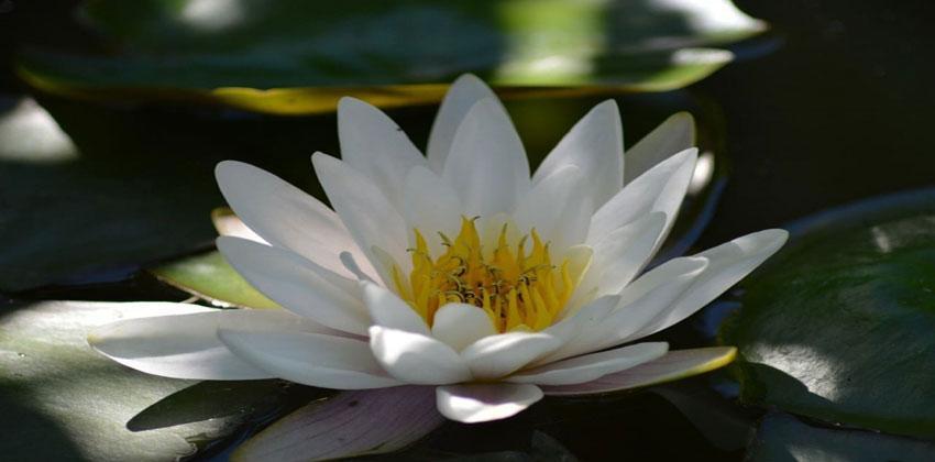 زهرة الزنبق