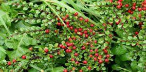 نبات السفرجلية
